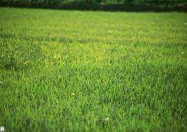 فروش بذر چمن هلندی و افریقایی ، فروش بذر چمن امریکایی ، فروش بذر چمن افریقایی – بذر چمن فوتبال ، بذر چمن برموداگراس ، فروش بذر چمن و چمنکاری ، شرایط چمنکاری ، قیمت بذر چمن ، انواع بذر چمن ، فروش گاه بذر صیفی جات و بذر چمن ، بذر صیفی جات ، فروشگاه بذر ، بذر کاران ، ورزشکاران ، فضای سبز ، فروش بذر چمن دایکوندرا ، قیمت هر کیلو بذر چمن ، نحوه کاشت بذر چمن ، بذر چمن اسپرت ، فروش بذر چمن دایکوندرا ، قیمت هر کیلو بذر چمن ، نحوه کاشت بذر چمن ، بذر چمن اسپرت ، خرید اینترنتی بذر چمن ، قیمت بذر چمن فوتبال ، انواع بذر چمن ، فروش بذر چمن تهران ، خرید پستی بذر چمن ، کاشت بذر چمن ، روشی ساده و کم هزینه ، بذر چمن هلندی درجه یک ، بذر چمن هلندی ، چمن مصنوعی ، قیمت چمن مصنوعی ، بذر چمن دایکوندرا ، بذر - چمن و پوششی ، فروش بذر چمن ، انتخاب و کاشت بذر چمن ، فروش بذر چمن ، کاشتن چمن تازه ، آموزش و شرایط کاشت و نگهداری چمن ، چمن و چمن کاری ، آموزش کاشت چمن دایکوندرا ، آموزش زمان و نحوه کاشت چمن ، همه چیز درباره چمن کاری ، فروش بذر چمن ، فروش انواع بذر - چمن افریقایی، فروش بذر چمن دایکوندرا ، قیمت هر کیلو بذر چمن ، نحوه کاشت بذر چمن ، بذر چمن اسپرت ، خرید اینترنتی بذر چمن ، قیمت بذر چمن فوتبال ، انواع بذر چمن ، فروش بذر چمن تهران ، انواع بذر چمن و شبدر زینتی تی تاک ، فروش انواع بذر چمن امریکایی هلندی - تی تاک ،فروش بذر چمن ، بذر چمن هلندی درجه یک ، قیمت هر کیلو بذر چمن ، فروش بذر چمن دایکوندرا ، نحوه کاشت بذر چمن ، فروش بذر چمن تهران ، بهترین بذر چمن ، قیمت بذر چمن آفریقایی ، انواع بذر چمن ، مقدار بذر چمن در متر مربع ، بذر شبدر زینتی یا شبدر دایکوندرا ، DICHONDRA ، چمن عروس ، چمن آفریقایی ، چمن عروس ، بدون نیاز به کوتاه کردن ، بسیار زیبا و بادوام ، قوطی یک کیلوگرمی و نیم کیلویی ، فروش بذر چمن 09199762163 ، بذر چمن هلندی فروشگاه تی تاک ، عرضه تمامی تجهیزات نهاده های کشاورزی و گلخانه ها ، فروش انواع بذر چمن و شبدر زینتی ، بذر چمن امریکایی ، بذر چمن افریقایی ، بذر چمن هلندی ، فروش عمده بذر چمن ، بذر چمن ،بذر چمن فلورتیس ، فلورتیس ، قیمت استثنایی ، بذر چمن اسپرت ، بذر چمن اسپرت فلورتیس ، بارنبروگ ، بذر بارنبروگ ،