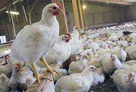 علل کاهش و قطع تخم گذاری در مرغ