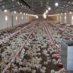 مزایای دستگاه های گرم کننده تابشی در مرغداری ها