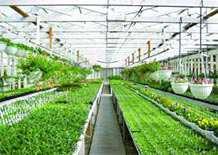 راهنمای گلخانه - 1 راهنماي انواع گلخانه (1) احداث گلخانه براي توليد ميوه هاي خارج از فصل و همچنين گل و گياهان زينتي از قرن ۱۷ ميلادي در اروپا آغاز و در سالهاي اخير به منظور استفاده بهينه از منابع خاك وآب و يا اشتغال زايي در سراسر جهان گسترش يافته است. ● تعريف گلخانه: گلخانه بخش محدودي از فضاست كه در آن كليه عوامل محيطي قابل كنترل بوده و براي كشتهاي متراكم و توليد محصول خارج فصل و يا خارج از محيط طبيعي گياه احداث ميگردد. ● انواع گلخانه ها : گلخانه ها از نظر نوع تو ليد و نوع تيپ سازه داراي انواع مختلفي به شرح ذيل مي باشند. تقسيم بندي بر اساس نوع توليد: ▪ گلخانه هاي توليدي سبزي و صيفي شامل محصولاتي نظير خيار, گوجه فرنگي, توت فرنگي, فلفل, بادمجان, طالبي, سبزيجات برگي (ريحان- شاهي و...) مي باشد. ▪ گلخانه هاي توليد گل و گياهان زينتي براي توليد انواع گلهاي شاخه بريده(رُز- ژربرا – گلايول – داودي) وگلهاي آپارتماني مي باشد. ▪ سالنهاي گلخانه اي توليد قارچ دكمه اي و قارچ صدفي از نظر نوع سازه گلخانه ها به دو دسته چوبي يا سنتي و مدرن يا فلزي تقسيم مي شوند: ۱) گلخانه هاي چوبي اسكلت اصلي اين گلخانه ها از چوب با پوشش پلاستيك مـي باشد. ارتفاع در ايـن سازه هـا ۲ تا ۳ متر و سيستم گرمايي و تهويه مناسبي ندارد و بدليل ارتفاع پايين مناسب كشت محصولاتي نظير خيار و گوجه فرنگي نمي باشد. مزيت اين گلخانه ها قيمت ارزان احداث هر واحد آن مي باشد ولي بدليل نامناسب بودن محيط داخلي براي رشد گياه معمولاً ميزان توليد در واحد سطح در مقايسه با گلخانه هاي مدرن بسيار كمتر است. بدلايل ذكر شده اين نوع گلخانه ها توسعه نيافته است و گلخانه هاي چوبي كه قبلاً احداث شده به تدريج به گلخانه هاي مدرن تبديل مي شوند. ۲) گلخانه هاي فلزي يا مدرن اسكلت اين گلخانه ها از فلز است كه معمولاً با پلاستيك هاي ضد اشعه ماوراء بنفش (uv) پوشش و داراي سيستم گرمايشي و تهويه مناسب مي باشد. ارتفاع اين نوع گلخانه ها بيش از ۵/۴ متر است و بدليل شرايط مناسب رشد گياه در اينگونه سازه, عملكرد در واحد سطح نسبت به گلخانه هاي چوبي افزايش دارد. اتصال قطعات در گلخانه هاي فلزي بوسيله پيچ ومهره(پرتابل)و يا استفاده از جوش مي باشد. هزينه واحد گلخانه هاي پرتابل نسبت به سيستم جوشي ۲۰-۱۵% بيشتر است ولي نصب آن آسانتر و تغييرات در سازه راحت تر است. ▪ سالنهاي