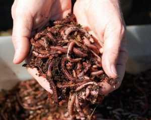 کرم خاکی بهترین غذا برای آبزیان