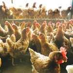 کود مرغی را بشناسیم در سالهای اخیر در اغلب کشورهای دنیا به علت حجم عظیم تولید کود مرغ و مشکلات و مسائل زیست محیطی آن در مورد مصارف مختلف کود مرغ مورد بررسی و تحقیقات فراوانی انجام شده است.نتایج حاصله ثابت کرده است که نه تنها کود مرغی ماده بی ارزشی و مزاحمی نیست بلکه چنانچه به خوبی از آن استفاده شود ماده بسیار با ارزشی با مصارف مختلف می باشد.قسمتی از کود مرغ امروزه در دنیا در تغذیه دام و ماهی به کار می رود و قسمت جزئی از آن نیز در تعداد معدودی از کشورها مانند هندوستان و چین و برخی از کشورهای افریقائی جهت تولید بیوگاز برای مصارف خانگی و در برخی از کشورهای پیشرفته از جمله انگلستان برای سوخت نیروگاههای تولید برق مدرن به کار میرود ولی به طور کلی بیش از 90 درصد از این کود برای مصارف کشاورزی مورد استفاده قرار می گیرد. ترکیب شیمیایی و مواد غذائی کود خشک شده مرغ طبق منابع موجود به قرار زیر می باشد: مواد غذائی کود بستر جوجه کشی کود مرغ تخمگذار در قفس درصد پروتئین حقیقی 16.7 11.3 درصد پروتئین خام 31.3 28 درصد ضریب هضمی(در دام) 23.3 14.4 درصد اسید اوریک(NPN) 8.5 6.3 درصد فیبر خام 16.8 12.7 انرژی قابل هضم در نشخوارکنندگان 2440 1893 درصد خاکستر 15 28 درصد کلسیم 2.4 8.8 درصد فسفر 1.8 2.5 درصد منیزیم 0.44 0.64 درصد پتاسیم 1.78 2.33 آهن(قسمت در میلیون) 451 150 منگنز(قسمت در میلیون) 225 406 روی(قسمت در میلیون) 235 463 کود مرغی دارای مقادیر قابل توجهی متیون،لیزین و سیستئین می باشد. ارزش کود مرغ بستگی تامی با نوع و ترکیب غذائی و نوع نگهداری مرغ و نوع ماده ای که برای بستر مرغ مورد استفاده قرار می گیرد دارد.طبق بررسی و تحقیقاتی که در دانشگاه havana صورت گرفت نشان میدهد اگر کود مرغی حاوی 50 درصد آب باشد در هر تن حاوی 20 کیلوگرم ازت،13 کیلوگرم پتاسیم،25 کیلوگرم فسفر و 42 کیلوگرم آهک و منیزیم است. بر اساس مقایسه ای که در اروپا بین کود مرغ و کود گاو و کود خوک انجام گرفته نشان می دهد اگر کود مرغ فرآوری شود ارزش آن به مراتب بیشتر از کودهای دیگر است جدول زیر نسبت ترکیب این کودها را در ترکیب 1000 گالن کود نشان می دهد. نوع کود ازت فسفات پتاس کود مرغی 68 49.5 32.4 کود گاو 21.2 8.9 26.5 بر اساس بررسی های انجام شده در دپارتمان علوم دانشکده کشاورزی دانشگاه IOWA آمریکا بر روی ترکیبات کو مرغ نشان می ده