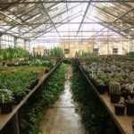 تاثير آبياري بر رشد گياهان گلخانه اي کم آبي در گياهان به صورت علايمي مانند توقف رشد , کوچکتر شدن برگ , کوتاه شدن فاصله ميان گره ها , بد شکل شدن برگ ها , سوختگي حاشيه برگ ها و ريزش برگ در گياهان حساس به ريزش برگ مشاهده مي شود . علايم کمبود آب در گل داوودي شامل تيره شدن برگ ها و در بگونيا به صورت خاکستري شدن برگ ها ديده مي شود. پر آبي به صورت علايمي مانند افزايش ارتفاع گياه , آبدار شدن ساقه و نرم و شکننده شدن و گاهي پژمردگي و مرگ گياه (در معرض نور ) , کاهش اکسيژن و صدمه به ريشه و عدم جذب آب و مواد غذايي و در نهايت پژمردگي و توقف رشد نمايان مي شود . پر آبي به معني مصرف بيش از حد آب در هر دور آبياري نيست بلکه نشان دهنده تکرار دفعات استفاده از آب است . در زمستان گياهان در مدت طولاني در معرض آب و هواي ابري هستند و معمولا يک يا دو روز در معرض هواي آفتابي قرار مي گيرند . گياهاني که به نور کم عادت کرده اند نمي توانند به سرعت به شدت نور زياد پاسخ دهند در نتيجه مقدار آب کمي که از طريق ريشه ها جذب مي شود نمي تواند مقدار آب از دست رفته از طريق تعرق را جبران نمايد و پژمردگي اتفاق مي افتد در اين حالت ممکن است تصور شود که گياه به آبياري نياز دارد ولي آبياري مشکل را حادتر مي کند . کندن خاک نشان مي دهد که خاک مرطوب اما سرد است . پس سرما عامل اصلي است و ريشه ها نمي توانند آب جذب کنند . ▪ زمان آبياري : مديريت آبياري عامل اصلي در موفقيت کشت است . نياز هاي رطوبتي گياه با مرحله رشد فرق مي کند و داننهال نسبت به گياه بالغ به آب کمتري نياز دارد . فصل سال بر ميزان آب مورد نياز موثر است . ميزان نياز آبي در تابستان بيشتر از زمستان است . نوع بستر رشد به کار رفته , سيستم حرارتي , نوع گلدان و نوع محصول نيز بر ميزان نياز آبي موثر است . بهترين روش براي راهنمايي کشاورز براي آبياري استفاده از تجربيات سال هاي گذشته است که چه مقدار آب مصرف شده و واکنش گياه به آن چگونه بوده است . ساده ترين روش استفاده از تانسيومتر است . بايد در زمان مناسب زمين يا گلدان را به خوبي آبياري کرد . آبياري ناقص (مثلا اگر نصف آب مورد نياز داده شود) باعث مي شود فقط نيمه بالايي سطح خاک خيس شده و نيمه ديگر آن خشگ باقي بماند و گياه زود تر از موعد مقرر نياز آبياري مجدد پيدا مي کند . و تکرار اين عمل باعث صدمه به ريشه واز بين رفتن آن م